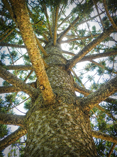 Araucaria heterophylla on 365 Project