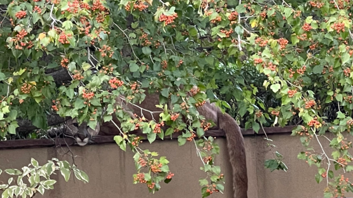 , Mountain lion hangs out on retaining wall in Boulder neighborhood, Nzuchi Times National News