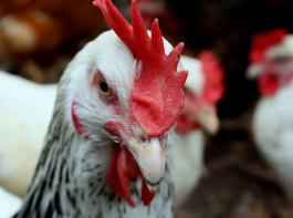 Im Mittleren Westen der USA grassiert derzeit die Vogelgrippe.© SueSchi/pixelio