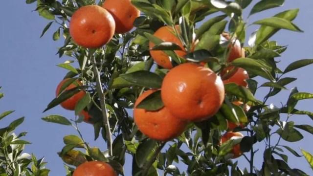 Murió tras comer una mandarina: ¿tenía agroquímicos?