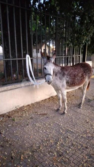 En un primer lugar, personal policial detuvo al burro en Avenida Freyre a la altura del Liceo Militar de Santa Fe.
