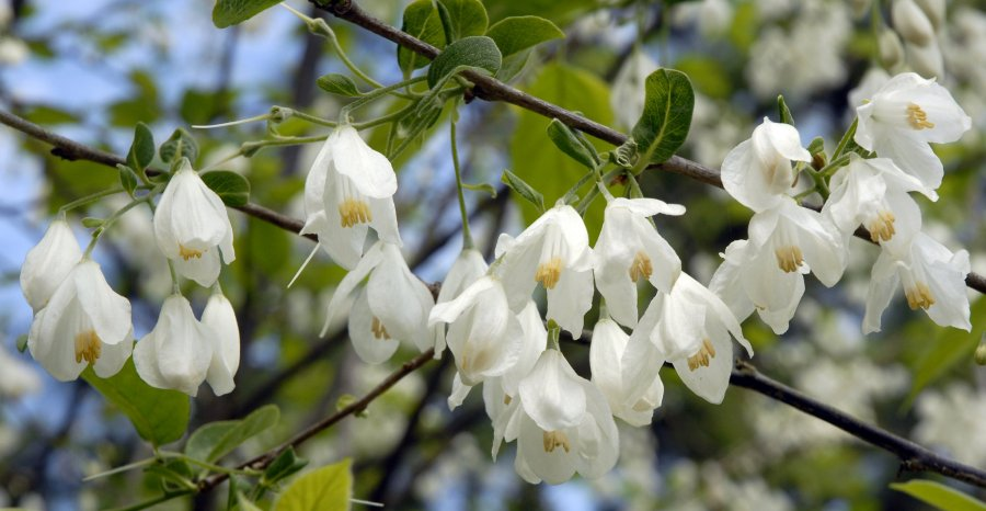 Flowering trees brighten Mobile s spring   AL com View full sizeA silverbell tree