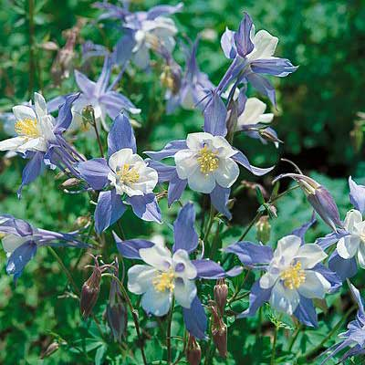 Rocky mountain columbine Plant Care & Growing Information ...