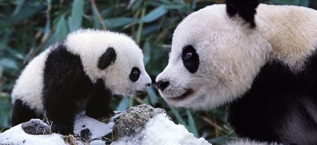 "Mamma- och bebispanda i Sichuan, Kina. Foto och copyright: Steve Bloom/BARCROFT MEDIA. Bilden lånad från <a href=""http://www.telegraph.co.uk/news/earth/earthpicturegalleries/7926413/My-Favourite-Animal-Families-by-wildlife-photographer-Steve-Bloom.html?image=3"" target=""_blank"">här </a>"