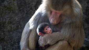 Risultati immagini per baboon baby