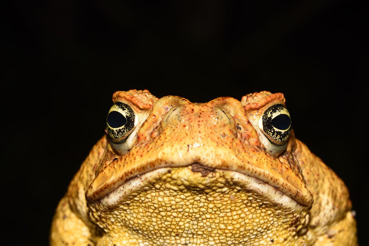 Who S Eating Cane Toads And Getting Away With It