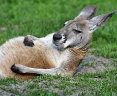 Känguru - du gissade rätt!