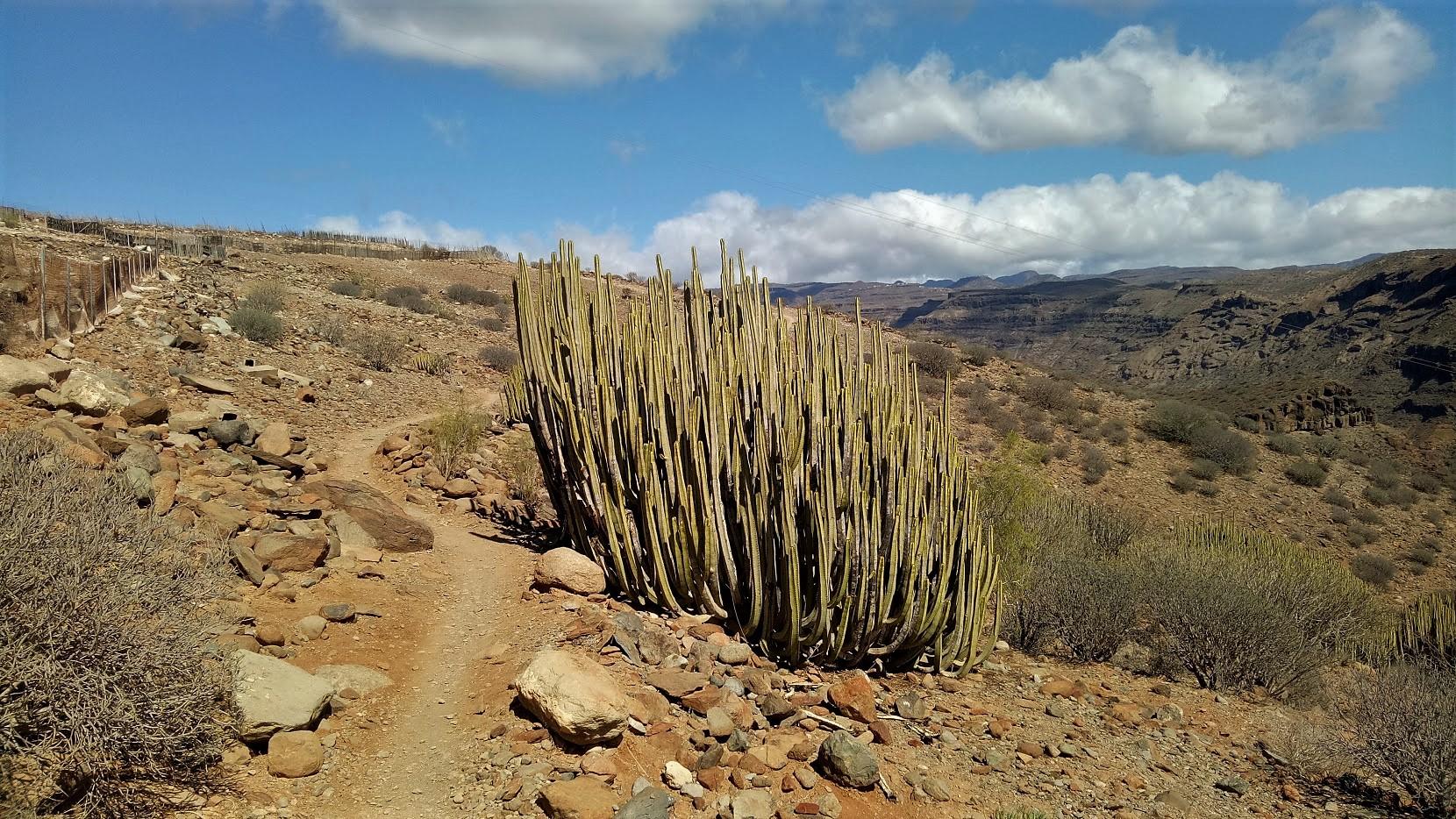 kaktus arguineguin