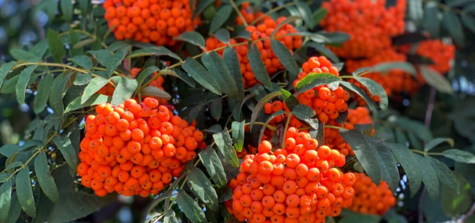 orange rönnbär på träd