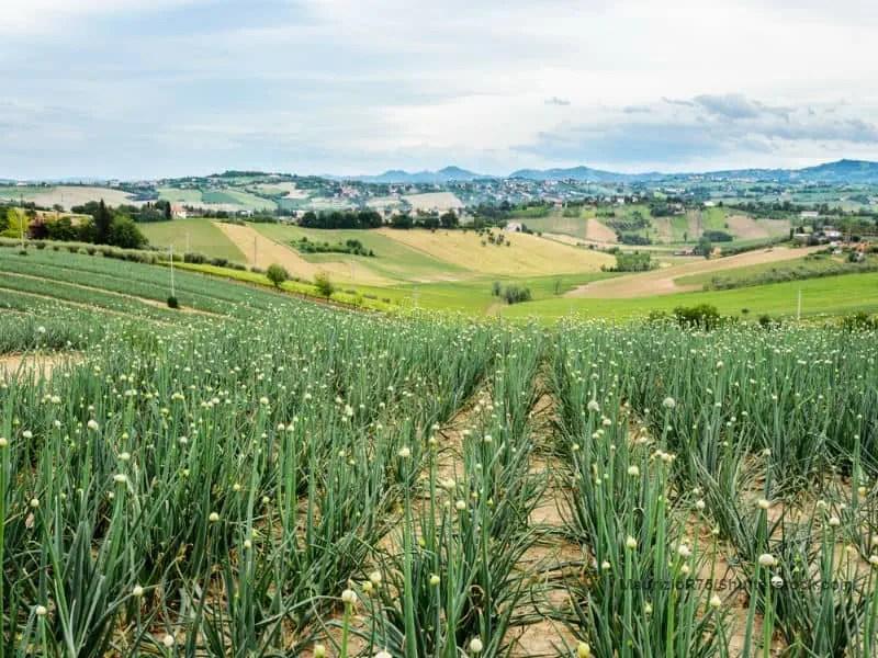 MaurizioR75 Garlic 6 Fields