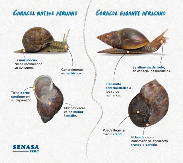 Diferencia entre caracoles normales del Perú y los gigantes africanos   Senasa Perú