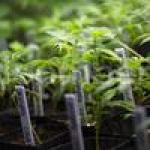 Medical marijuana farm, dispensary planned in rural Miami-Dade