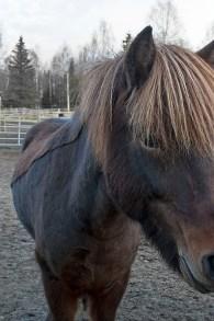 Häst klippt speciellt L