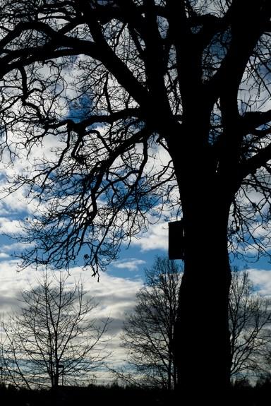 Aspen mot skyn, Malmslätt - Margareta