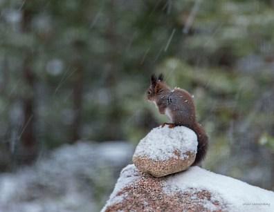 Kurre på stenröset i snöfall 3 L