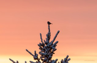 Talgoxe i solnedgången