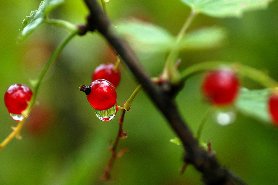 Vinbär