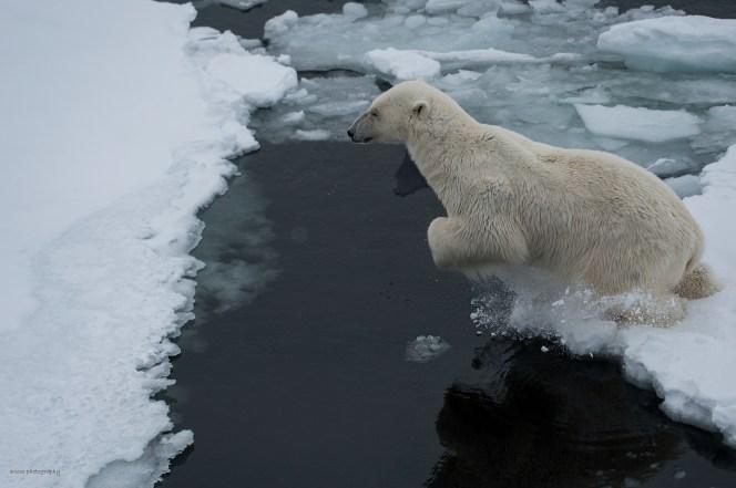 Isbjörn tar språnget