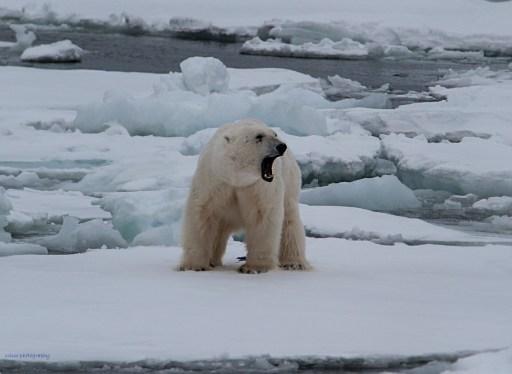 Isbjörnshanne som bajsar