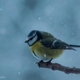7 december - Cricco blåmes i snöfall