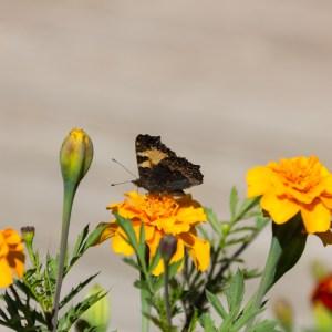 Malin - Fjäril vingad