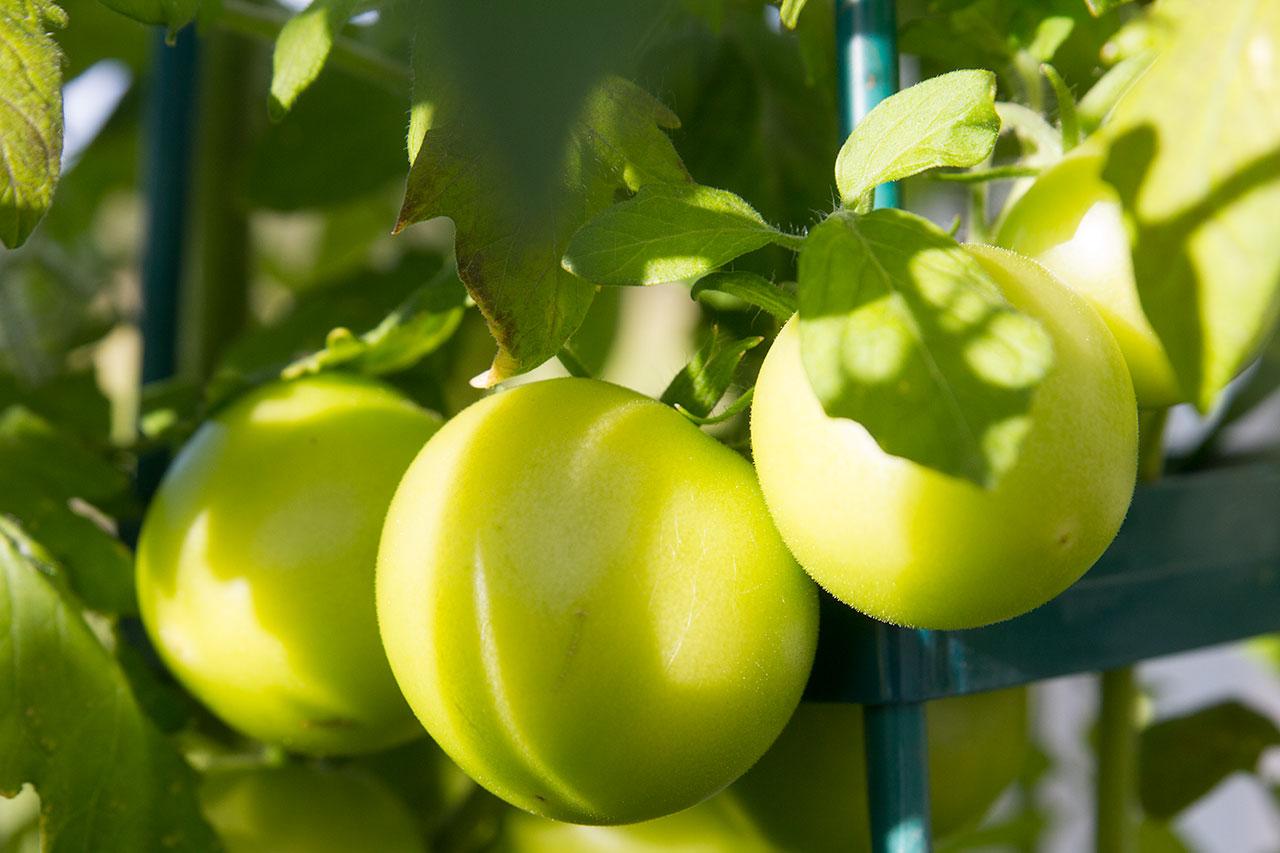 2 sept - Sommarens sådd ska ge en njutning under hösten. Dessa tomater ska bli gröna.