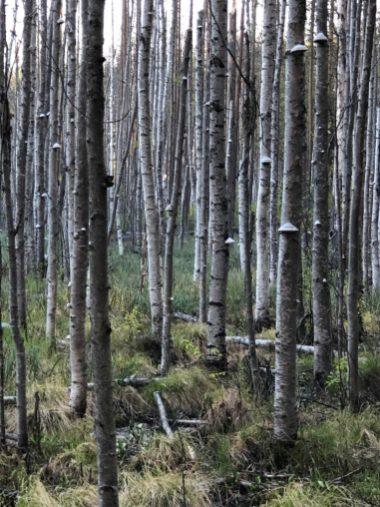 Sumpskog på Bergnäset vid motionsspåret- av Ewa