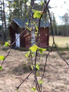 Lövsprickning i Åträsk - Ewa