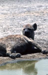 Hyena i Ngoro Ngoro