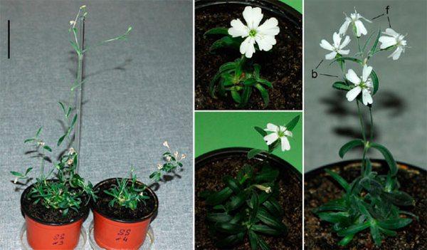 Notrocketscience Files 2012 02 Silene Regenerated Plant