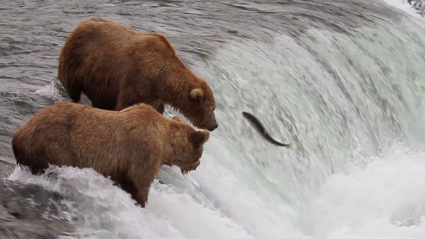 How Long Does Def Last >> Meanwhile, some bears are fishing salmon out of a river in Alaska / Boing Boing