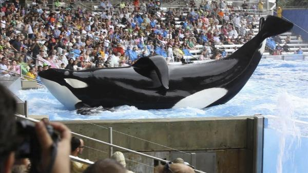 """A whale performs at SeaWorld in a scene from """"Blackfish."""" (Magnolia Pictures)"""