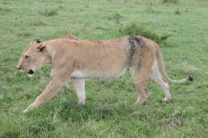 lion-treated