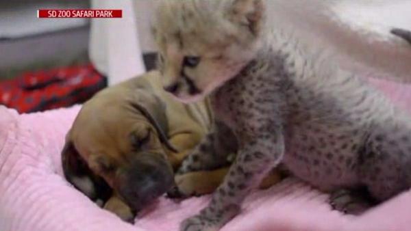 la-me-ln-cheetah-cub-introduced-to-puppy-pal-20140612