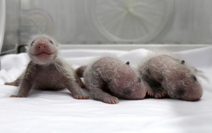Newborn giant panda triplets are seen inside an incubator at the Chimelong Safari Park in Guangzhou