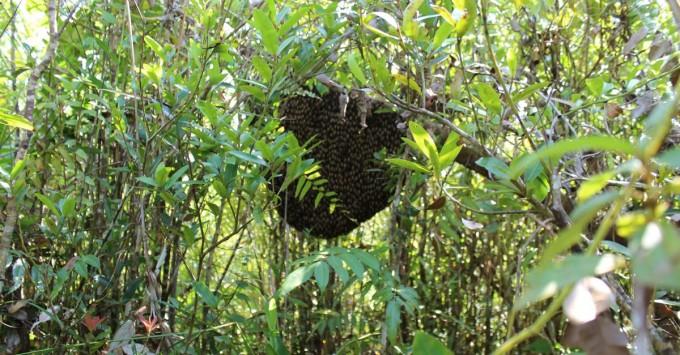 apis dorsata hive