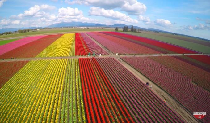 skagit-tulips-03