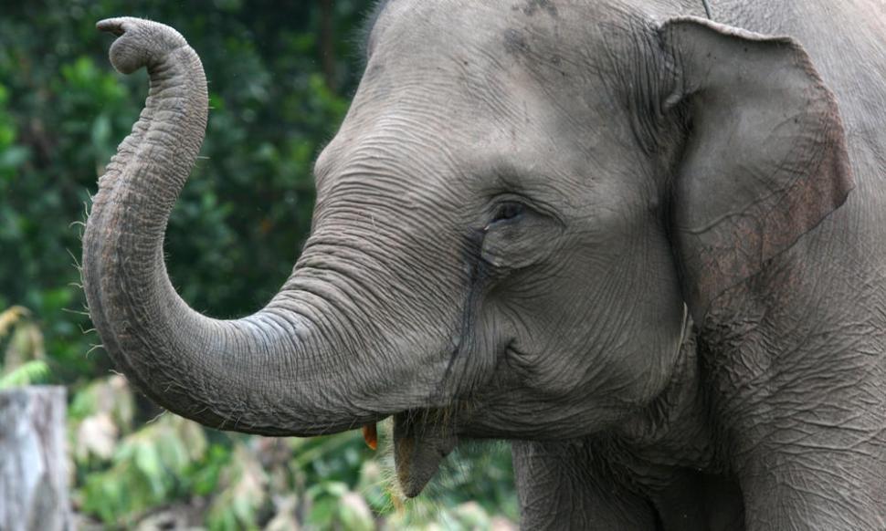 Sumatran elephant, (Elephas maximus sumatrensis) a member of Flying Squad in Tesso Nilo National Park, Riau, Indonesia. [WWF]