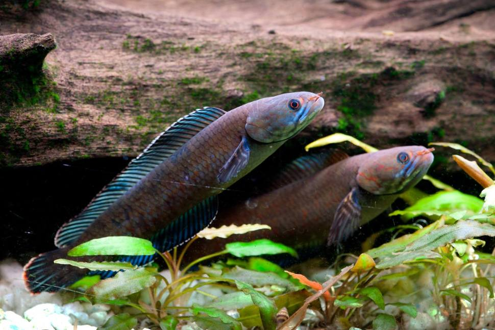 The blue walking snakehead fish can survive out of water up to 4 days. [Henning Strack Hansen]