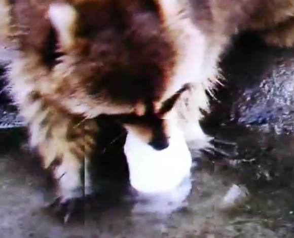 Why Do Raccoons Get Their Food In Water