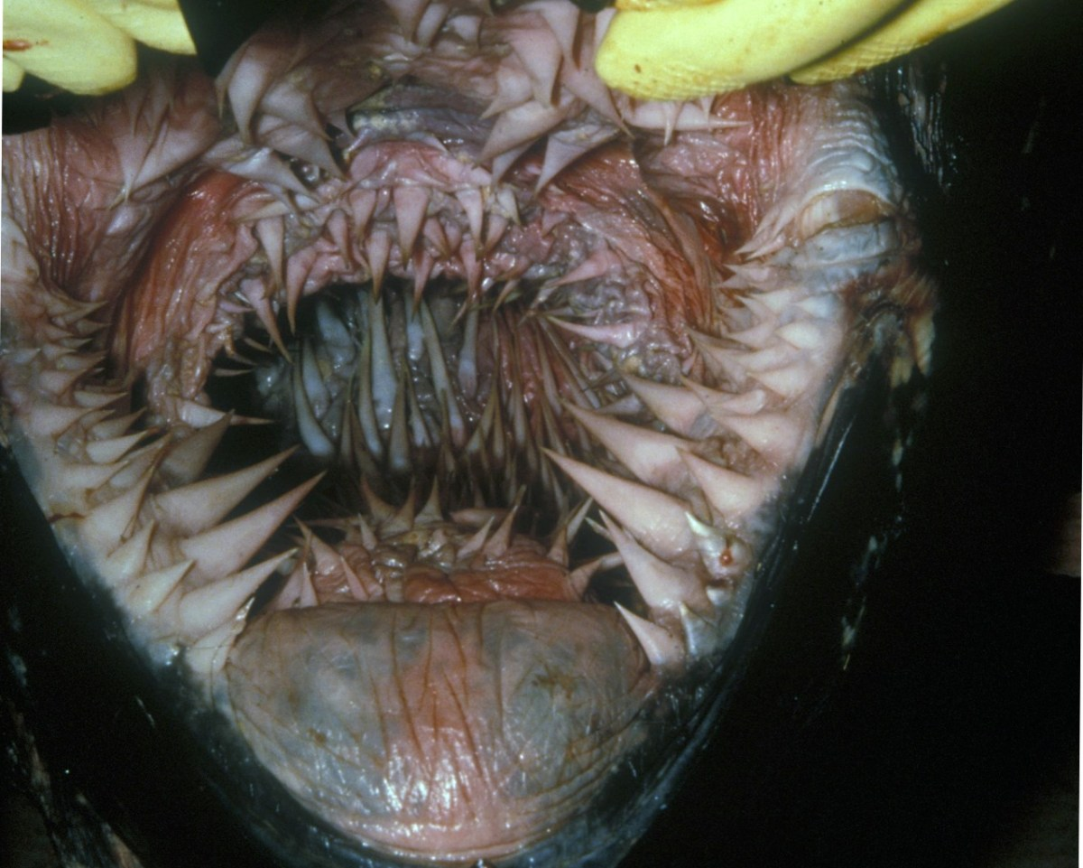 The Inside Of A Leatherback Turtle U0026 39 S Mouth    Boing Boing