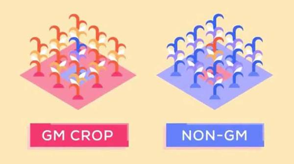 Are GMOs good or bad? Genetic engineering and our food