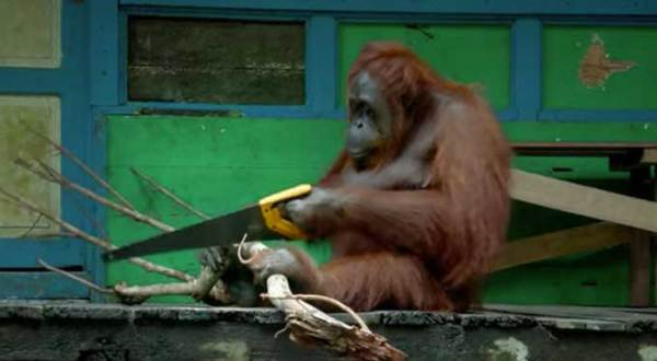 Wild orangutan figures out how to saw wood