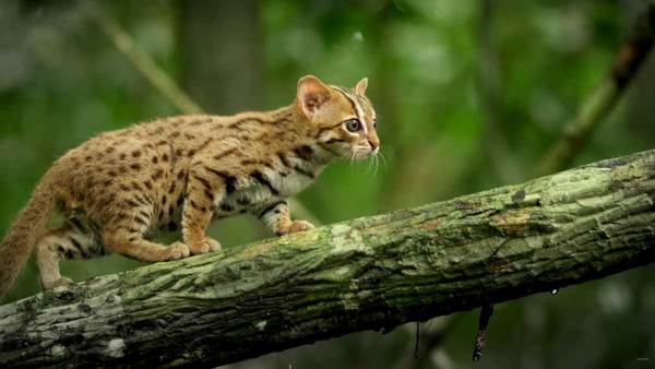 World's smallest species of wildcat could fit in the palm of your hand