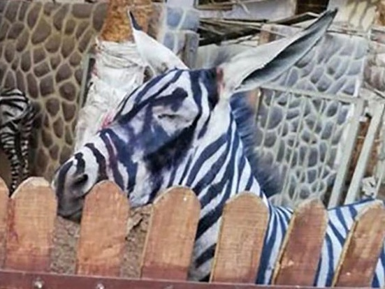 Egypt zoo reportedly disguised donkey as a zebra