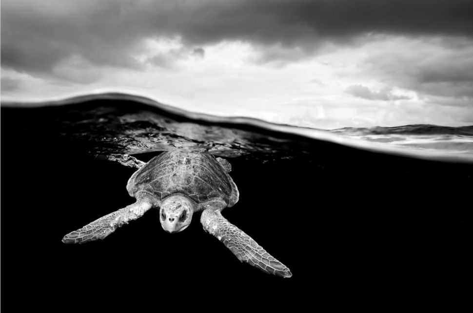 Black and white photo of a sea turtle, by Christian Vizl