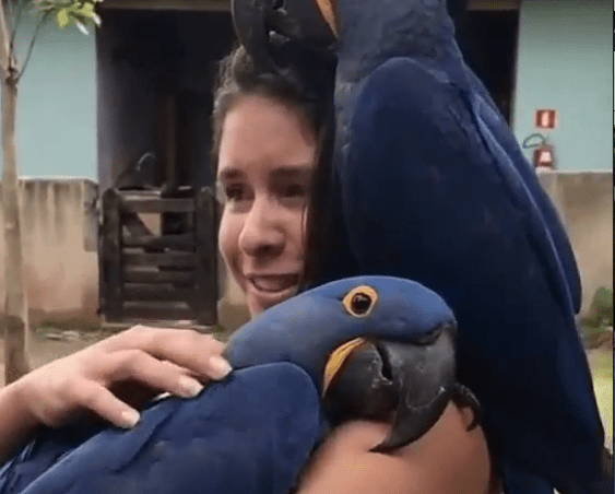 Bird love: Hyacinth macaws are being so affectionate with this girl