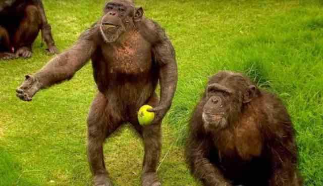 How to speak chimpanzee