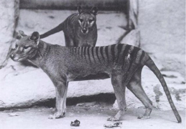 Tasmanian tiger: thought to be extinct yet sighted two months ago