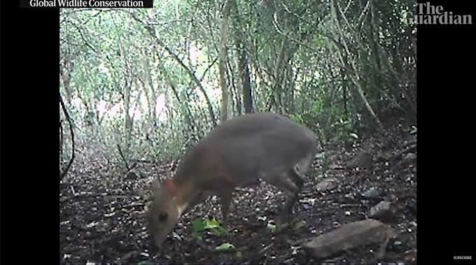 Mouse deer, thought to be extinct spotted for first time in 30 years